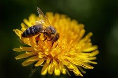 Abeja en una flor amarilla del diente de león que recoge el polen y el gatherin Fotografía de archivo libre de regalías
