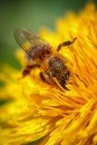 Abeja en una flor amarilla del diente de león que recoge el polen y el gatherin Imagen de archivo