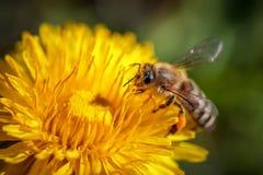Abeja en una flor amarilla del diente de león que recoge el polen y el gatherin Fotos de archivo libres de regalías