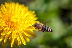 Abeja en una flor amarilla del diente de león que recoge el polen y el gatherin Imagenes de archivo