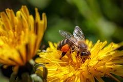 Abeja en una flor amarilla del diente de león que recoge el polen y el gatherin Imagen de archivo libre de regalías