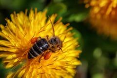 Abeja en una flor amarilla del diente de león que recoge el polen y el gatherin Foto de archivo