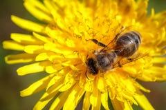 Abeja en una flor amarilla del diente de león que recoge el polen y el gatherin Fotografía de archivo
