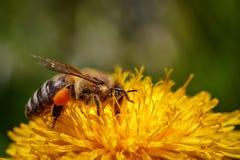 Abeja en una flor amarilla del diente de león que recoge el polen y el gatherin Foto de archivo libre de regalías