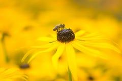 Abeja en una flor amarilla del echinacea Imágenes de archivo libres de regalías