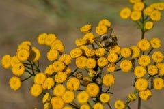 Abeja en una flor amarilla del Tansy - vulgare del Tanacetum Fotos de archivo libres de regalías