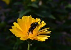 Abeja en una flor amarilla en el jardín verano Fotografía de archivo libre de regalías