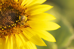 Abeja en una flor amarilla en la puesta del sol Imágenes de archivo libres de regalías