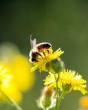 abeja en una flor amarilla en un sol de la mañana Fotos de archivo libres de regalías