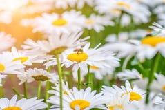 Abeja en una flor amarilla la manzanilla, día de verano soleado Foto de archivo