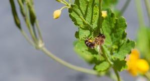 Abeja en una flor amarilla que recoge el polen Fotos de archivo