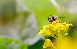 Abeja en una flor amarilla, un cierre para arriba Foto de archivo libre de regalías