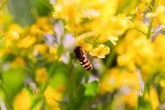 Abeja en una flor amarilla, un cierre para arriba Imagenes de archivo
