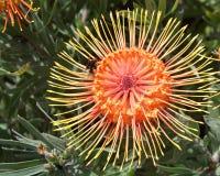 Abeja en una flor amarilla y anaranjada del protea del acerico Foto de archivo libre de regalías