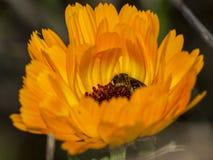 Abeja en una flor anaranjada Foto de archivo