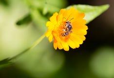 Abeja en una flor anaranjada en la naturaleza Imagen de archivo libre de regalías