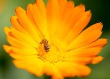 Abeja en una flor anaranjada en la naturaleza Fotos de archivo libres de regalías