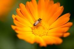 Abeja en una flor anaranjada en la naturaleza Fotos de archivo