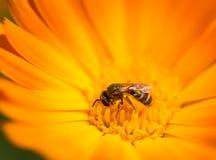 Abeja en una flor anaranjada en la naturaleza Fotografía de archivo libre de regalías
