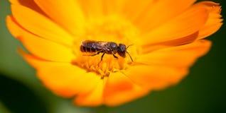Abeja en una flor anaranjada en la naturaleza Fotografía de archivo