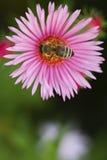 Abeja en una flor Astor Fotografía de archivo libre de regalías