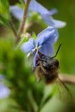 Abeja en una flor azul que recoge el polen y que recolecta el néctar a p Imagen de archivo libre de regalías