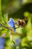 Abeja en una flor azul que recoge el polen y que recolecta el néctar a p Fotografía de archivo libre de regalías
