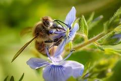 Abeja en una flor azul que recoge el polen y que recolecta el néctar a p Foto de archivo libre de regalías