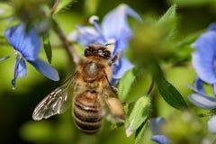 Abeja en una flor azul que recoge el polen y que recolecta el néctar a p Fotografía de archivo
