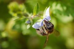 Abeja en una flor azul que recoge el polen y que recolecta el néctar a p Fotos de archivo