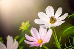 Abeja en una flor blanca Imágenes de archivo libres de regalías
