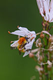 Abeja en una flor blanca Foto de archivo