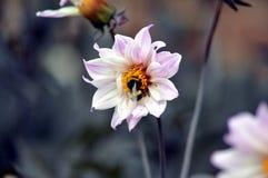 Abeja en una flor blanca Foto de archivo libre de regalías