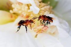 Abeja en una flor blanca Fotografía de archivo libre de regalías