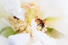 Abeja en una flor blanca Fotografía de archivo