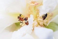 Abeja en una flor blanca Fotos de archivo