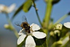 Abeja en una flor blanca Imagen de archivo
