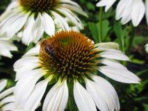 Abeja en una flor blanca Imagen de archivo libre de regalías