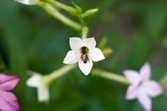 Abeja en una flor blanca Fotos de archivo libres de regalías