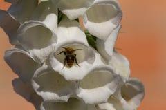 Abeja en una flor blanca de la dedalera Fotos de archivo libres de regalías