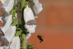 Abeja en una flor blanca de la dedalera Fotos de archivo