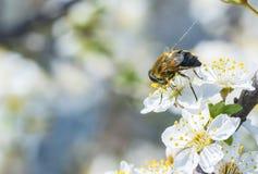 Abeja en una flor blanca en una abeja del árbol que recoge el polen Fotos de archivo