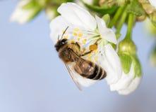 Abeja en una flor blanca en un árbol cierre Fotografía de archivo libre de regalías