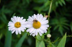 Abeja en una flor blanca hermosa Imagen de archivo libre de regalías