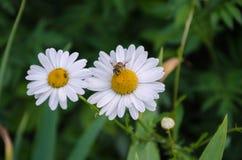 Abeja en una flor blanca hermosa Fotos de archivo