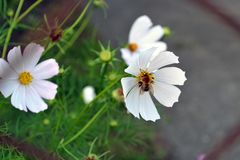 Abeja en una flor blanca en jardín Fotografía de archivo libre de regalías