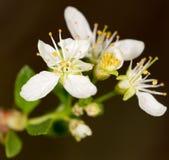 Abeja en una flor blanca en naturaleza Primer Fotografía de archivo