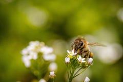 Abeja en una flor blanca que recoge el polen y que recolecta el néctar a Fotografía de archivo libre de regalías