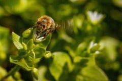 Abeja en una flor blanca que recoge el polen y que recolecta el néctar a Imagen de archivo