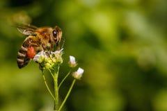 Abeja en una flor blanca que recoge el polen y que recolecta el néctar a Fotos de archivo